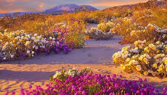 当沙地马鞭草超级绽放,怎么也不会想到这里是美国南加州的沙漠